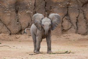 Birth and childhood of elephants