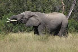 What do African elephants eat