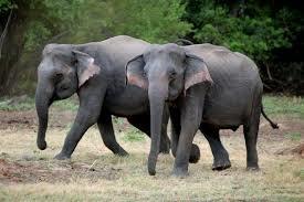 Sri Lankan Elephant Facts